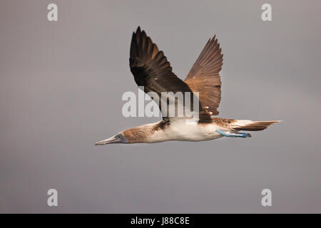 Blue-footed Booby in flight at the coast of Isla de Coiba national park, Pacific coast, Veraguas province, Republic - Stock Photo