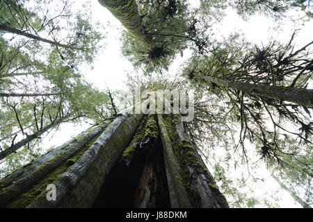 Mossy old growth western red cedar trees in an ancient rainforest on Vancouver Island, British Columbia, Canada - Stock Photo