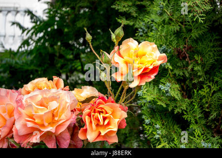 Orange roses on their trees in the Serbian countryside, green trees can be seen in the background  Picture of orange - Stock Photo