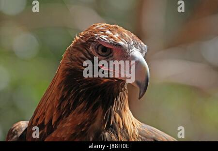 wedge, eagle, portrait, berry, keilschwanzadler, tailed, australien, - Stock Photo