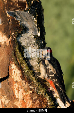 Greater Woodpecker (Dendrocopos major) sitting on a rotting birch stalk and looking under the bark of an insect.Sunny - Stock Photo