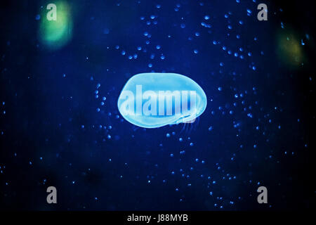 Jellyfish in the aquarium, Tropicarium, Budapest, Hungary. - Stock Photo