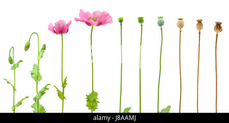 isolated, flower, plant, flowers, poppy, growth, evolution, sequence, close, - Stock Photo