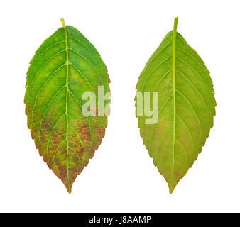 leaf, isolated, flower, plant, leaves, mushroom, fungus, disease, illness, - Stock Photo