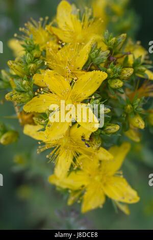 curativeness, pharmacy, drugstore, toxic, poisonous, plant, tea, health, macro, - Stock Photo