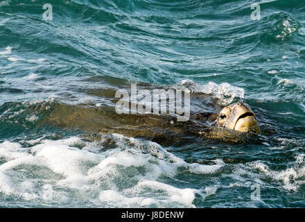 A Green Sea Turtle swimming of the coast of Maui, Hawaii - Stock Photo