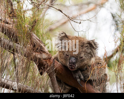 sleepy koala in a tree Kangaroo Island New Zealand - Stock Photo