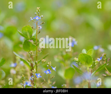 Brooklime (Veronica beccabunga) plant in flower. Raceme of blue flowers on fleshly plant in the family Plantaginaceae, - Stock Photo