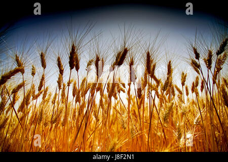 Ripe, Golden wheat stalks in a field before harvest - Stock Photo