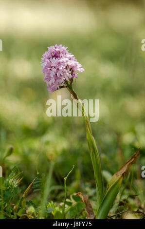Pyramidal orchid, Anacamptis pyramidalis, orchis, wild orchids, Andalusia, Spain. - Stock Photo