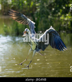 Grey Heron with eel - Stock Photo