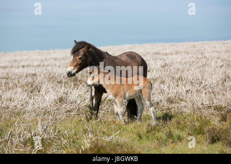 Mother and Foal. A pair of Exmoor ponies in dry heathland with sea behind. - Stock Photo