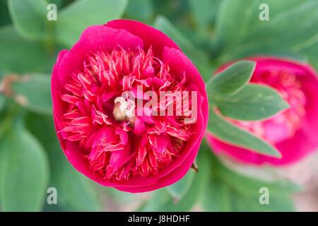 Paeonia officinalis 'Anemoniflora Rosea' flower. - Stock Photo