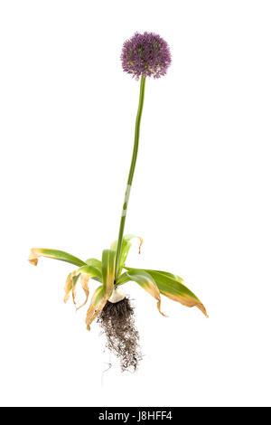 whole Allium giganteum plant on isolated white background - Stock Photo
