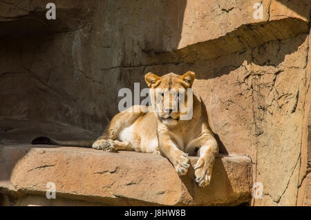 Lioness (Panthera Leo) resting on a rock - Stock Photo