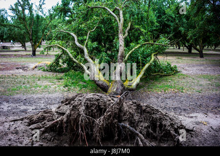 A large almond tree that has fallen in an orchard in the San Joaquin Valley of California - Stock Photo