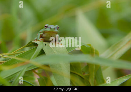 A tiny Green Tree Frog sitting on a blade of grass. Eastern Dwarf Tree Frog, Litoria fallax - Stock Photo