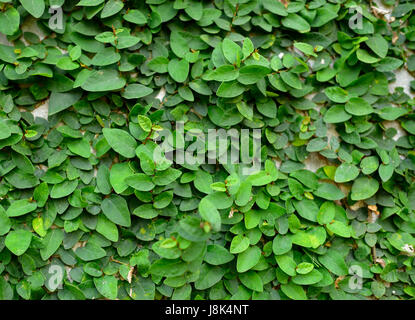 green block wall green creeper on concrete block wall stock photo royalty free