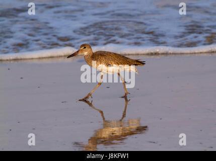 Willet (Tringa semipalmata) walking in tidal flats - Stock Photo