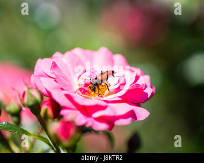 Longhorn beetle on pink fucsia flower - Stock Photo