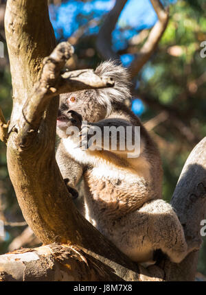 Koala seen in wild on Kangaroo Island, South Australia. - Stock Photo