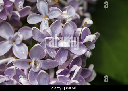Syringa vulgaris, closeup.  Pale blue variety of lilac. Waxy petals resemble porcelain when wet with rain. - Stock Photo