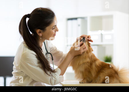 Female veterinarian examining teeth of Spitz dog in clinic - Stock Photo