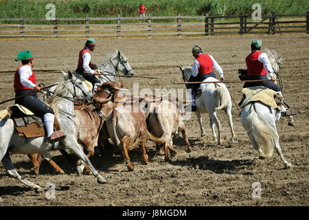 Traditional running of wild bulls by the 'campinos'. Samora Correia, Ribatejo. Portugal - Stock Photo