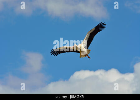 Stork (Ciconia ciconia) flying at the Sado Estuary Nature Reserve. Portugal - Stock Photo