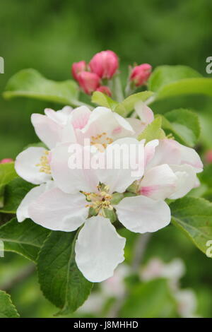 Malus domestica 'Laxton's Fortune' apple blossom in full bloom in an English heritage orchard on a sunny spring - Stock Photo
