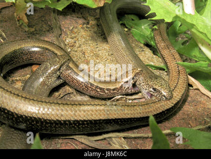 The Biter Bitten! Slow worm Courtship & Mating (Anguis fragilis) Males biting female who bites back! 1 of 2 - Stock Photo