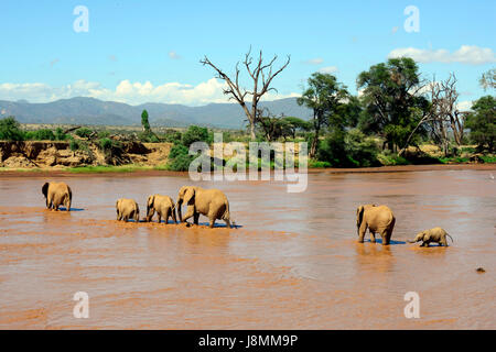 A herd of elephants crossing the Ewaso Ng'iro river between Samburu national reserve and Buffalo Springs national - Stock Photo