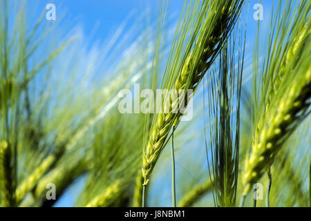 Spikelets of young wheat close-up. ears of green unripe wheat. - Stock Photo
