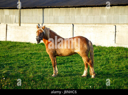 A red horse stands on the green grass. The horse looks at the camera - Stock Photo