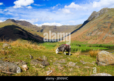 A native herdwick sheep grazes above the dramatic scenery of Great Langdale in the Lake District. - Stock Photo