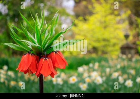 The big bold orange flowers of the crown imperial (Frittilaria imperialis) dominate the spring flower borders in - Stock Photo