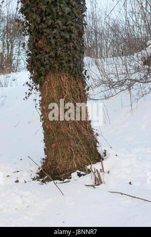 Reh hat bei Schnee, Schneelage in einem harten Winter Efeu abgefressen, Verbiss durch Reh, Reh-Wild, Spuren der - Stock Photo