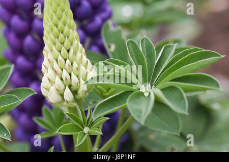 Buds, mature flowers and foliage of the pollinator friendly Lupinus (Lupin) 'Persian Slipper' plant in a British - Stock Photo