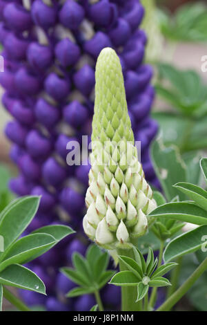 Bud, mature flowers and foliage of the pollinator friendly Lupinus (Lupin) 'Persian Slipper' plant in a British - Stock Photo