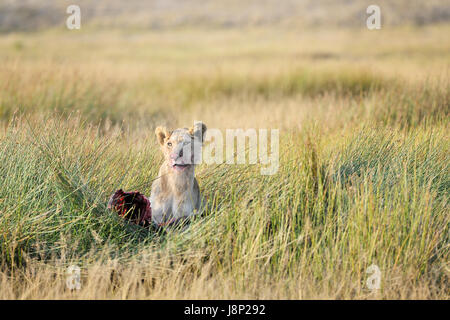 Young male Lion (Panthera leo) with fresh kill on savanna, looking up, Serengeti National Park, Tanzania - Stock Photo
