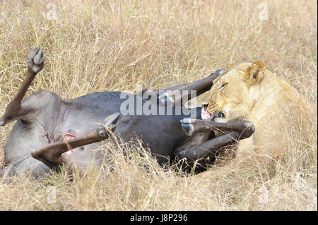 Lioness (Panthera leo) feeding on the carcass of a just caught Blue Wildebeest (Connochaetes taurinus), Serengeti - Stock Photo