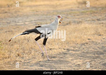 Secretary bird (Sagittarius serpentarius) walking on Serengeti plains, Serengeti national park, Tanzania - Stock Photo