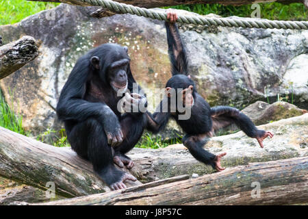 Mum gives baby Chimp a helping hand - Stock Photo