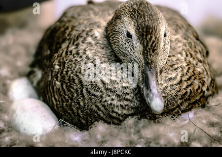 Duck sitting  on eggs in the nest - Stock Photo