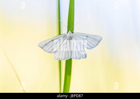 White butterfly, Weissling (Pieridae) near Neuffen on the Swabian Alb. - Stock Photo