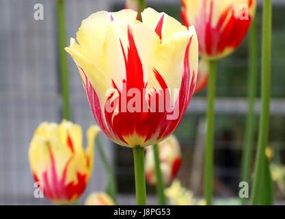 Orange and pale yellow tulips - Stock Photo