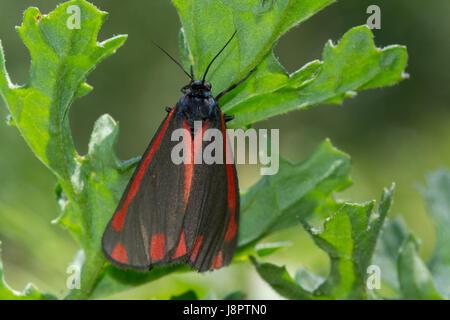 Close-up of cinnabar moth (Tyria jacobaeae) - Stock Photo