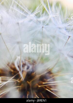 Extreme macro of a dandelion flower - Stock Photo