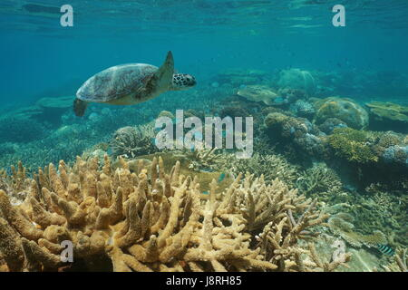 Underwater a green sea turtle swims over an healthy coral reef with fish, New Caledonia, south Pacific ocean - Stock Photo