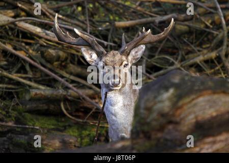 mesopotamian fallow deer - Stock Photo